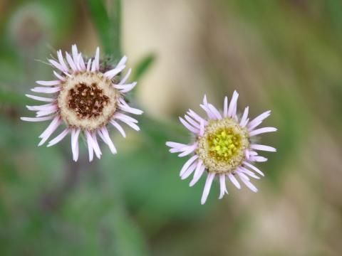 Blue Fleabane: blowing in the wind | Nature Notes from Dorset