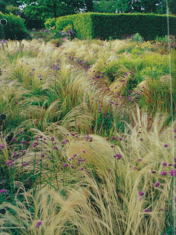 Plant Combination: Mexican Feather Grass, Verbena Bonariensius And Japanese  Blood Grass, Zone