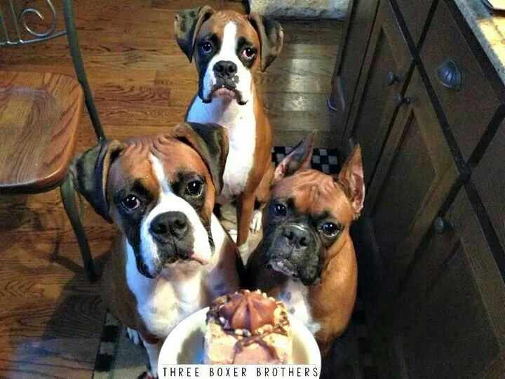 """Three boxer brothers that have to share!"""" #dogs #pets #Boxers Facebook.com/sodoggonefunny"""