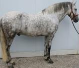Magnifique pure race espagnole reproducteur http://www.equirodi.com/annonces/cheval-a-vendre/magnifique-pure-race-espagnole-reproducteur-117935.htm