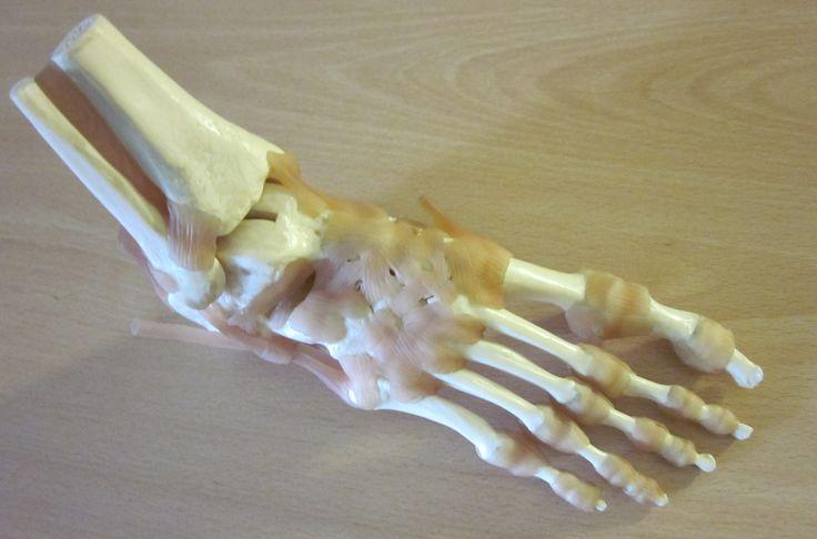 #ScienceSnaps 53: The bones of the foot Photo credit: Wendy Smith Location: Glasgow Caledonian University