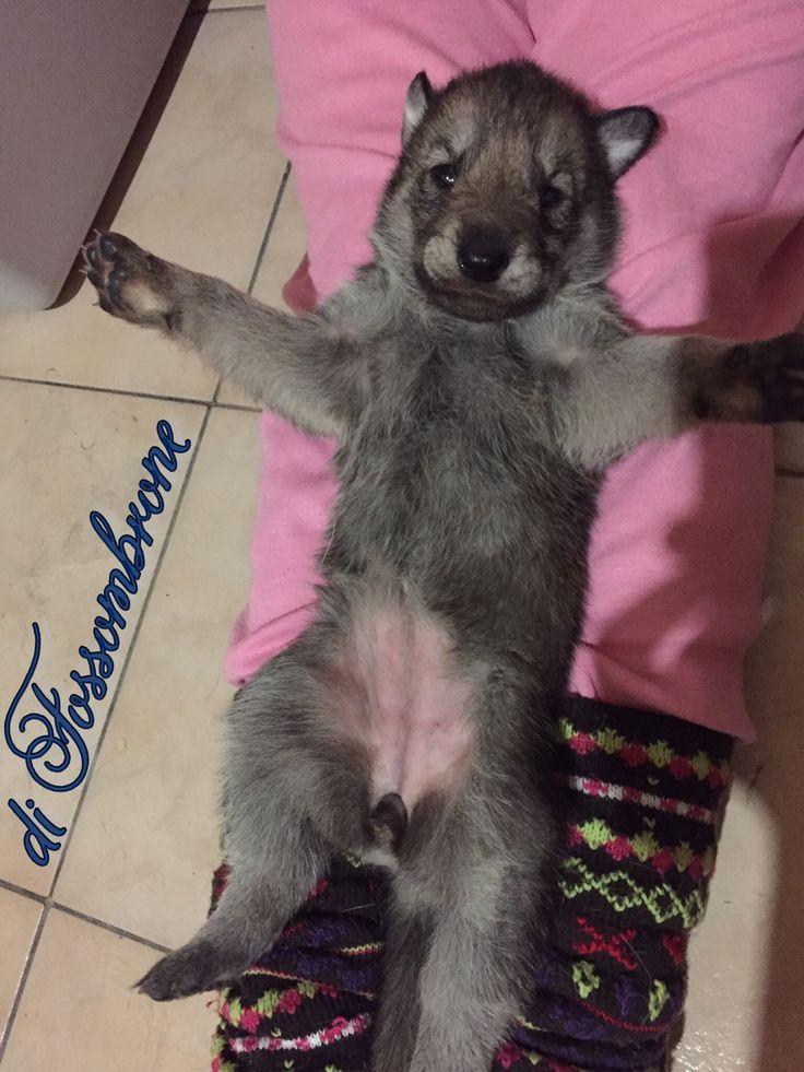 Piccoli lupi crescono... 😍😉👍🏻🐺🐾 #SaarloosPuppy #Cuccioli #DiFossombrone