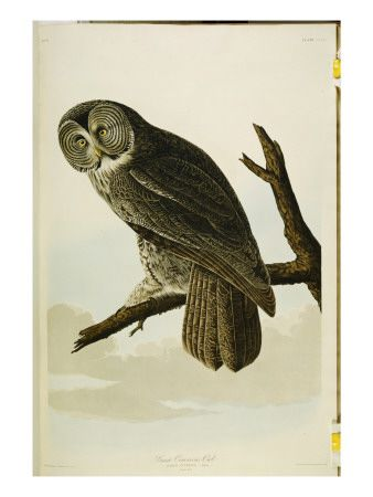 Great cinereous owl from the birds of america