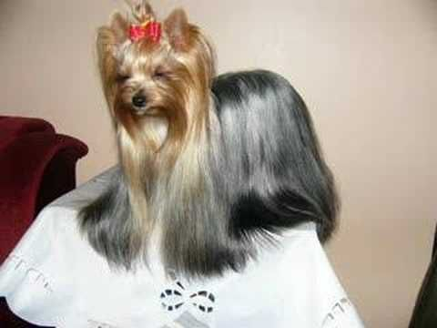 cheap dog haircuts 1000 images about i terriers on 3295 | ee3ee6270ca4f9dc56c87e65ae405ff9
