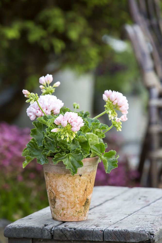 geranium ✩ I can never find pa.e pin,    Pale pink love