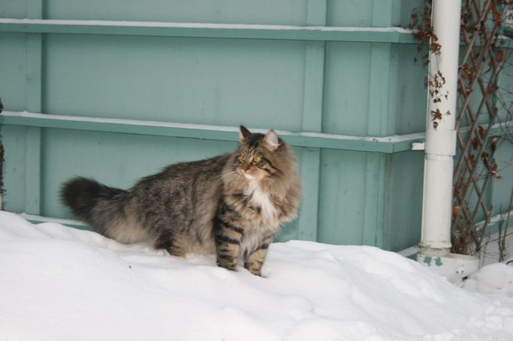 S* Miss Emmi's Dylan Dynamic My beloved Sibirian Cat <3