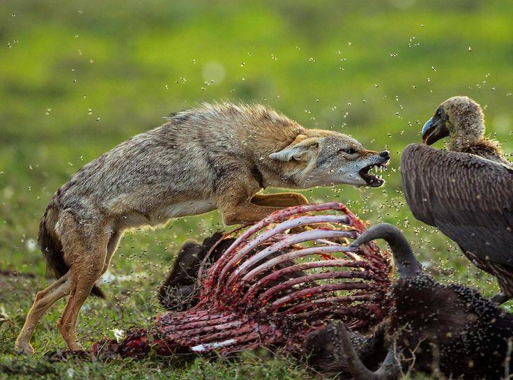 Goldschakal und Weißrückengeier (die ganze Spezies, echte Ökologen in der Natur, verschwindet zusehends...)