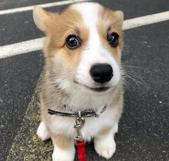 Welsh Corgi Pembroke Has The Closest Relative 8211 The Red Fox But The Fox Is Cunning And Vindictive In Her Soul S Corgi Pembroke Welsh Corgi Cute Animals