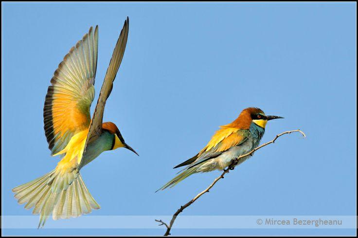 #Birds #BirdsWatch  Credits: Mircea Bezergheanu