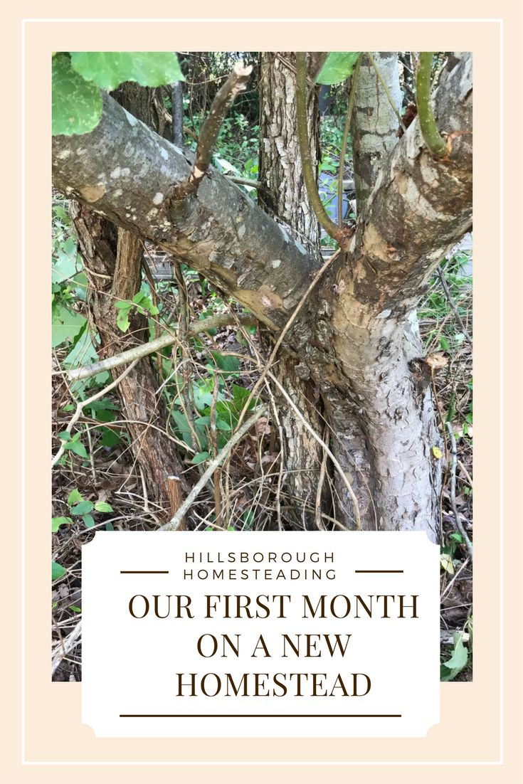 Read the story of our first month on a new homestead - starting a new homestead from scratch. Clearing the land, rescuing an old orchard, and installing a vegetable garden from scratch.   Hillsborough Homesteading