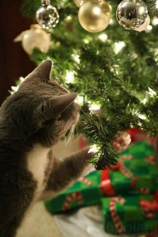 PetsLady's Pick: Cute Fascinated Christmas Cat Of The Day...see more at PetsLady.com -The FUN site for Animal Lovers