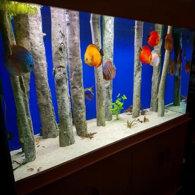 Discus Fish Aquarium Decorated With Aquadecor Standing Logs Aquarium Discusfish Aquascape Aquascaping Aqua Discus Fish Aquarium Fish Fish Tank Decorations