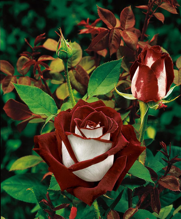 Large-Flowered Rose 'Osiria'® ® - Shrub Rosa 'Osiria' Giant Flowers Our large-flowered Rose 'Osiria' has a most exquisite colour combination. The petals are blood-red on the inside and pure silvery-white on the outside. The impressive appearance of this rose is proof of its pedigree.