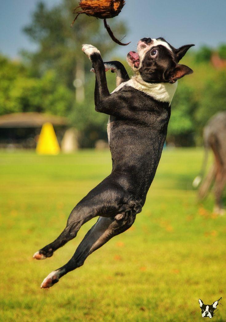 ee40681e5d6c7481dc8a5b37ae16edb6 568 best bostons images on pinterest boston terrior, terrier dogs