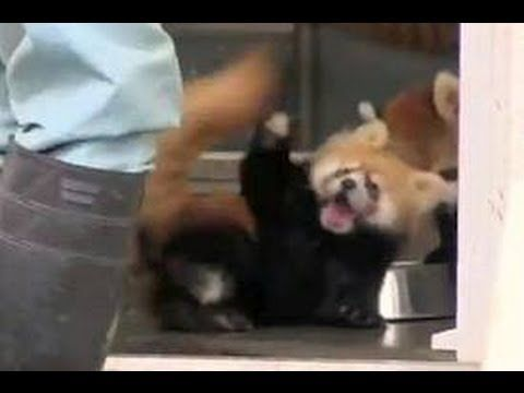Hilarious Video Of Baby Red Panda Being Startled By Zoo Keeper