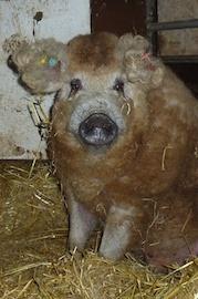 Een nieuwe primeur voor Altembrouck, Mangalica varkens een culinaire sensatie.