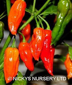 Bhut jolokia seeds (aka ghost pepper)