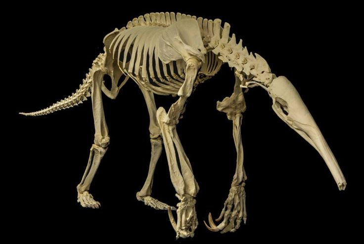 Giant anteater skeleton. The size and shape of this is surprisingly similar to the animal, which show the difference past can make - Past, present and/or future