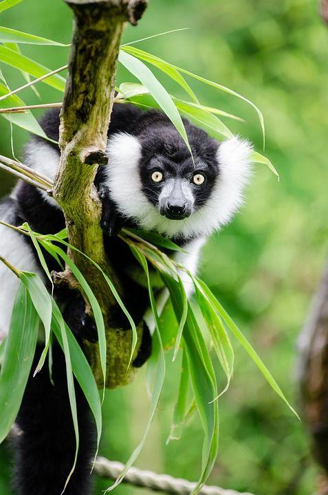 Zwart-Wit Vari Lemur, Het Wild Levende Dieren