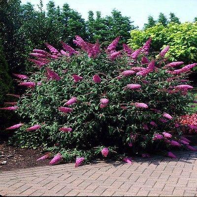 Butterfly Bush Summer Lilac Seeds (Buddleja Davidii) 50+Seeds - Under The Sun Seeds  - 3