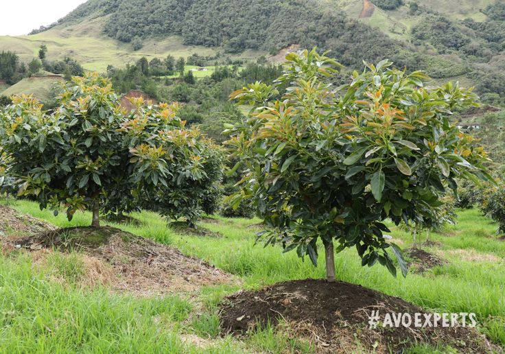 An avocado tree can continue to grow and produce fruit for many, many years. Westfalia still has orchards planted before 1970, making these trees more than 50 years old.
