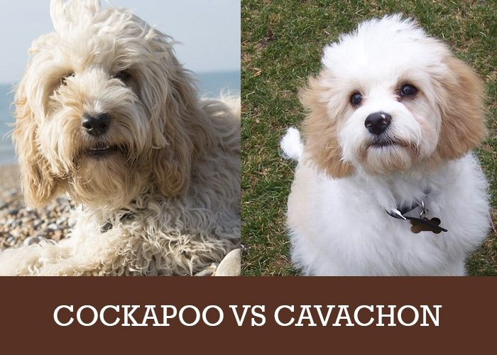 Cockapoo Vs Cavachon Which Is Right For You And Your Family