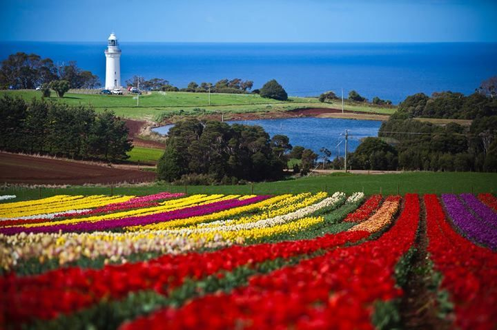 The Tulip Festival at Table Cape, Tasmania, Australia