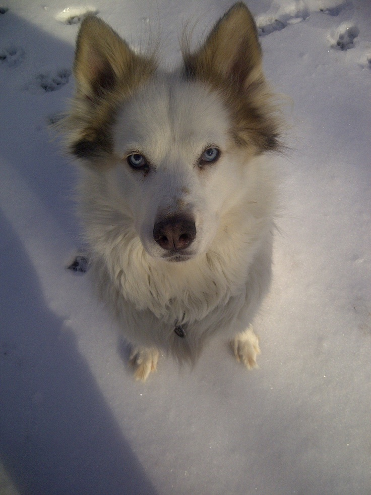 Anouk the Husky/Wolf Hybrid