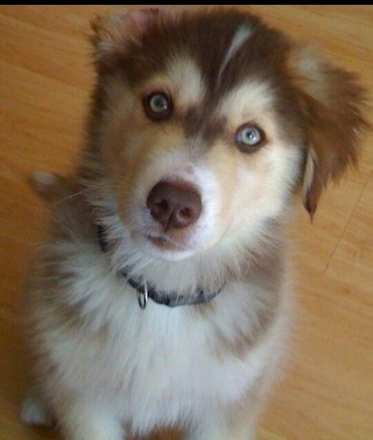 Huskey / Golden R. | Cute! | Pinterest | Awesome and Full of
