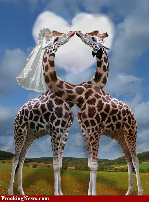 Show me unusual pictures of giraffes - Google Search ...