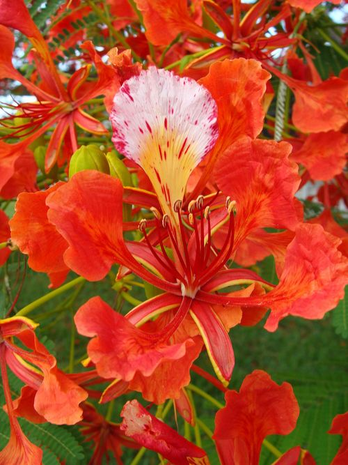 Poinciana, Royal Poinciana or Flamboyant (Delonix regia).