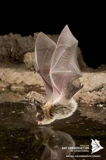 What a stunning photo. Bat caught in flight swooping down to take a drink!!!!