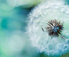 Dandelion | via Tumblr