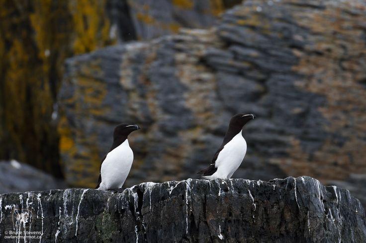 Razorbills - Pearl Island, Nova Scotia