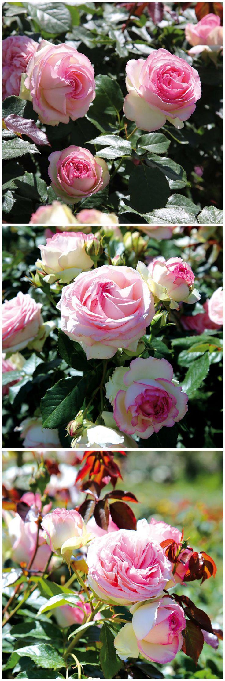 Inspirational Die Strauchrose uEden Rose u verstr mt einen tollen Rosenduft Ihre Bl ten sind