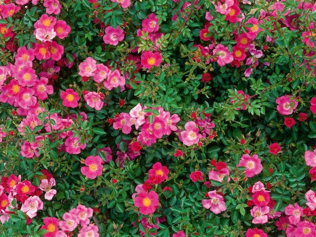 Roses In Garden: Ground Cover Rose Blooms Profusely In Sun