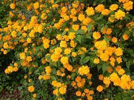 Ranunkelstrauch zum Blühen bringen-ranunkel.jpg