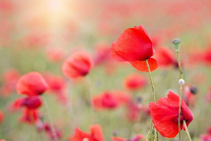 Papoilas, Red, Flores, Primavera, Papoula, Natureza