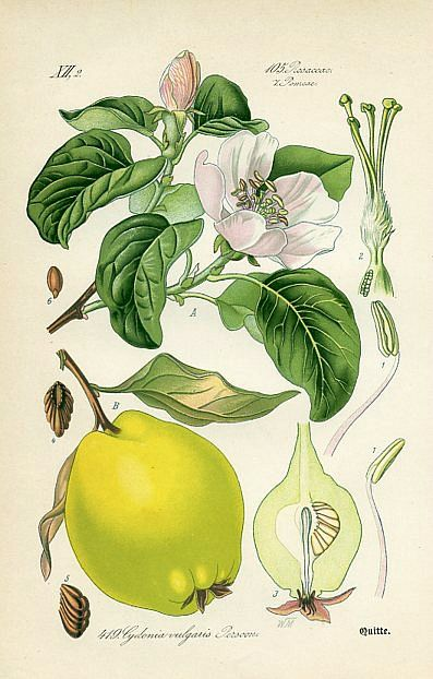 Quince (Cydonia vulgaris) Flora of Germany (Germany , 1886)
