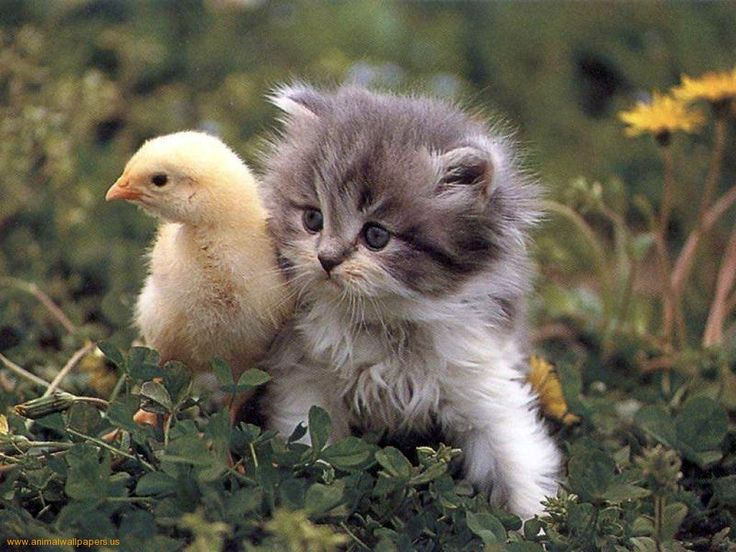tiny kitten and tiny duckling
