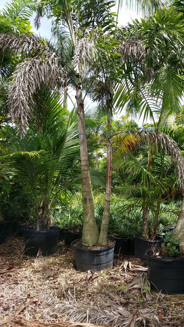 wholesale plant nursery florida - Double stem foxtail palm tree - wholesale plant nursery RealPalmTrees.com