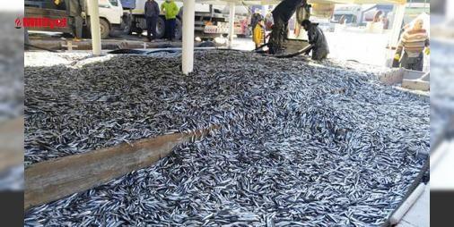 Amasrada balıkçılar 350 ton hamsi avladı : Çeşitli illerden gelerek Amasra açıklarında avlanan balıkçı tekneleri tonlarca yerli hamsi ile limana döndü. Teknedeki hamsiler balıkçı barınağını dolduran kamyonlara yüklenerek çevre illere sevk edildi. Limana gelen vatandaşlara hamsi ücretsiz verilirken poşet ve kovalara hamsiyi dolduran evinin ...  http://www.haberdex.com/turkiye/Amasra-da-balikcilar-350-ton-hamsi-avladi/130720?kaynak=feed #Türkiye   #hamsi #dran #balıkçı #Amasra #sevk