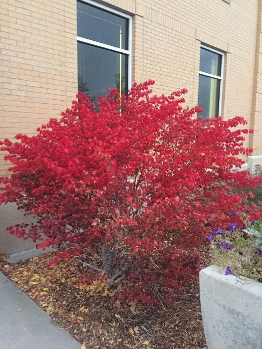 Located on the East side of the Hinckley Building.  Euonymus alatus 'Compactus' - Burning Bush - Zone 4  H&S 6-8 ft