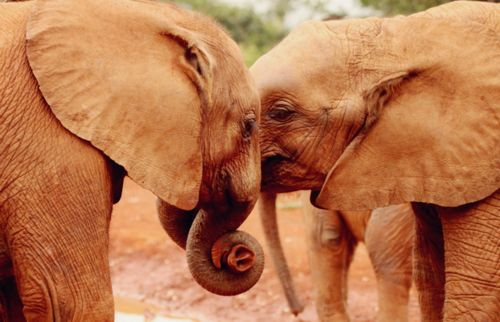 Elephants have been known to die of broken hearts if a mate dies. They  refuse to eat and will lay down, shedding tears until they starve to  death. Scientists are beginning to  believe that animals do have emotions and that their feelings may be  more intense and unfiltered than our own.
