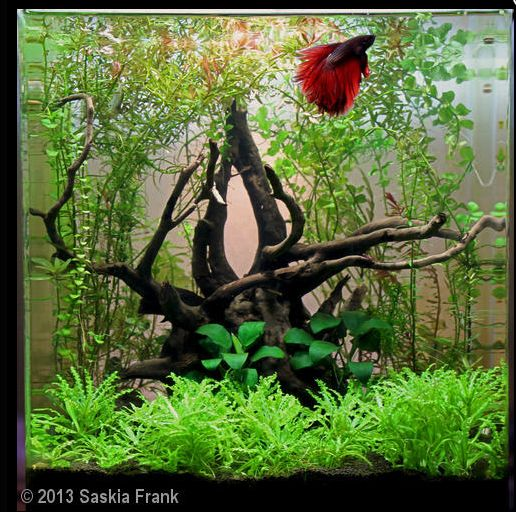 Lovely betta tank aquascape