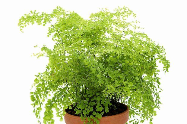 Jak Dbac O Adiantum Plants Herbs