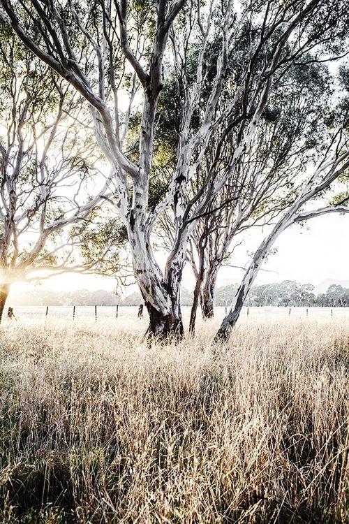 'Ghost Gum' Photographic Print by Kara Rosenlund. Shot roadside in regional Victoria, Australia. It is a favourite of mine. © Kara Rosenlund  Shop here: http://shop.kararosenlund.com/ghost-gum-photographic-print/