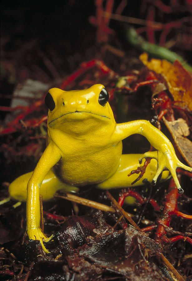 The golden poison dart frog is considered one of the most toxic animals on Earth. A single specimen measuring two inches (five centimeters) has enough venom to kill ten grown men. Indigenous Emberá people of Colombia have used its powerful venom for centuries to tip their blowgun darts when hunting, hence the species' name.