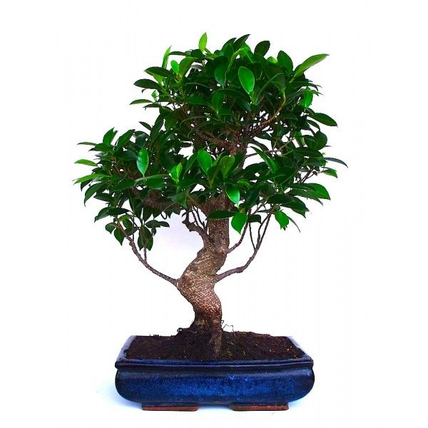 25 best ideas about bonsai ficus on pinterest bonsai bonsai trees and bonsai tree price. Black Bedroom Furniture Sets. Home Design Ideas