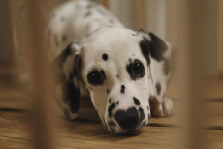 #달마시안 #컴마 #노므 #애견 #반려동물  #사진 #강아지 #友達 #カムマ #ノム #ペット #写真 #犬 #ダルメシアン #Dalmatian #comma #Friend #dog